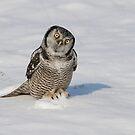 Northern Hawk Owl - Stoney Creek Ontario, Canada by Raymond J Barlow