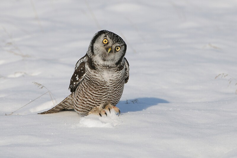 Quot Northern Hawk Owl Stoney Creek Ontario Canada Quot By