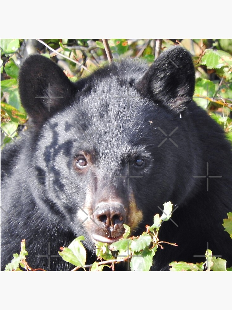Black Bear Stare by MyWalledlife