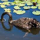 Swan Dive by Richard  Windeyer