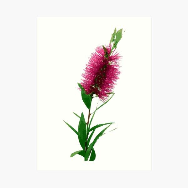 Bottlebrush Flower - Australian Native Floral - Pink Art Print