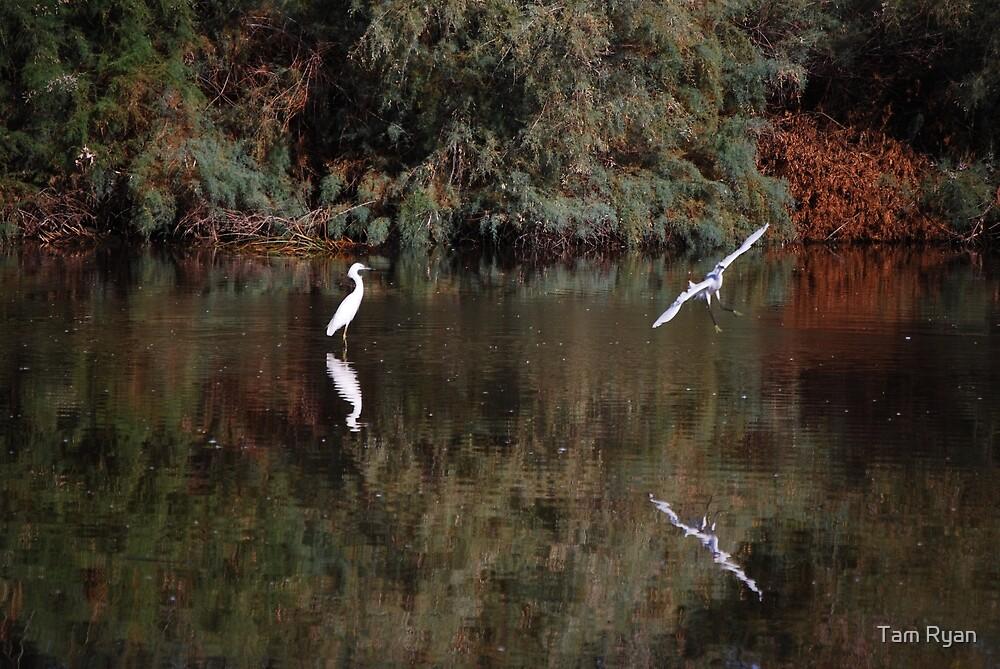 Snowy White Egret Landing by Tam Ryan