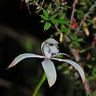 Caladenia ustulata by Colin12