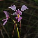 Diuris punctata by Colin12