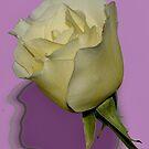MY NOVEMBER WHITE ROSE by RoseMarie747