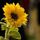 A Ray of Sunflower by Jessica Smith