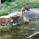 Female Sumatran tiger and three cubs. by Sheila Smith