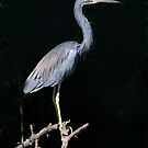 Tri-Colored Heron by Brenda Dow
