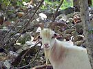 A handsome Billy Goat by FrankieCat