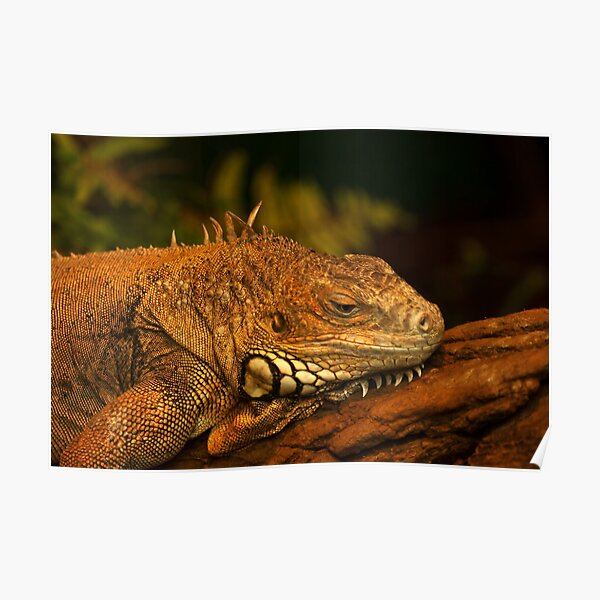 Green Iguana in deep thoughts Poster