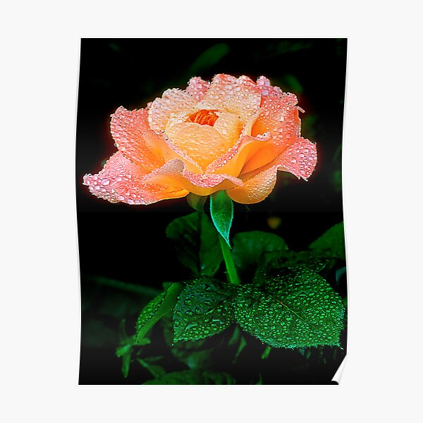 Candy Rose Poster