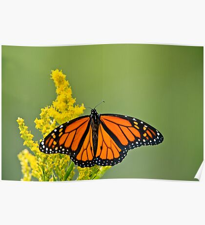 Monarch Butterfly - 43 Poster