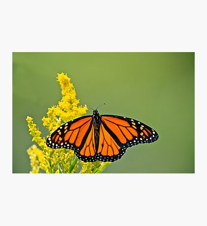 Monarch Butterfly - 43 Photographic Print