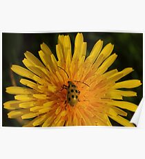Spotted Cucumber Beetle on Dandelion  Poster