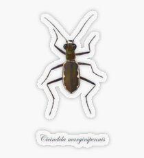 Cobblestone tiger beetle, Cicindela marginipennis Transparent Sticker