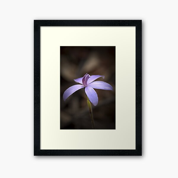 """Little Blue Native Orchid"" Framed Art Print"