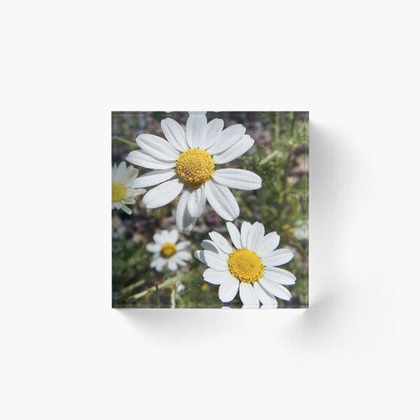 Mayweed wildflower Acrylic Block
