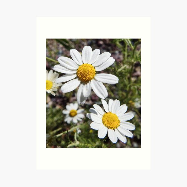 Mayweed wildflower Art Print