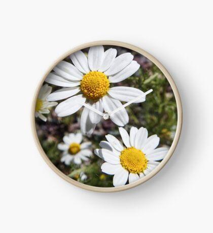 Mayweed wildflower Clock