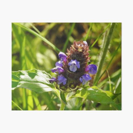 Self Heal Wildflower Art Board Print