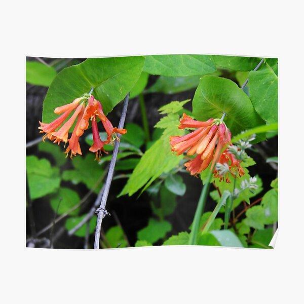 Orange Honeysuckle Wildflower Poster