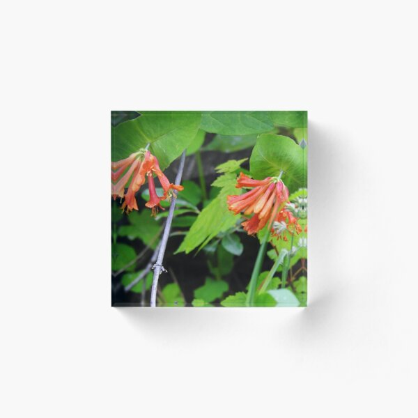 Orange Honeysuckle Wildflower Acrylic Block