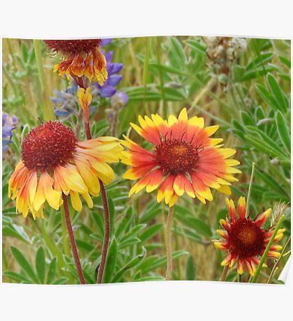 Blanket Flower Wildflowers Poster
