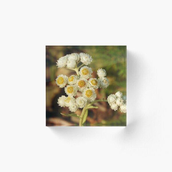 Pearly Everlasting Wildflowers Acrylic Block