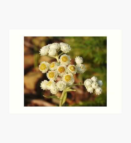 Pearly Everlasting Wildflowers Art Print