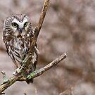 Saw-whet Owl 3 - Ontario, Canada by Raymond J Barlow
