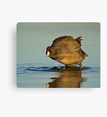 Coot with Attitude Canvas Print