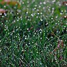 Morning Dew by KerrieLynnPhoto
