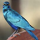 Greater blue eared starling 2 by Anthony Goldman