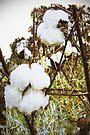 King Cotton by Terri Chandler