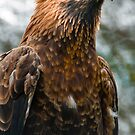 Wedge Tail Eagle by Sherrill Meredith