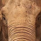 Asian Elephant by Steve Bullock