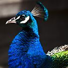 Peacock. Melbourne Zoo by John Vandeven