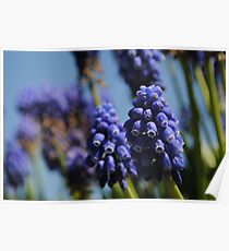 Purple bell flowers Poster