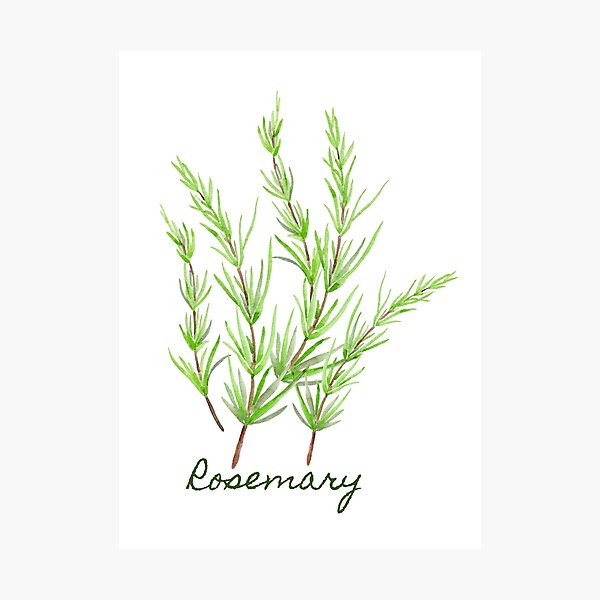 Watercolour herb sprig of rosemary Photographic Print