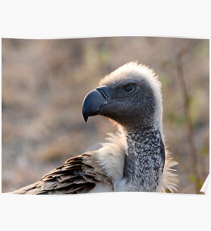 White Backed Vulture Close Up  Poster