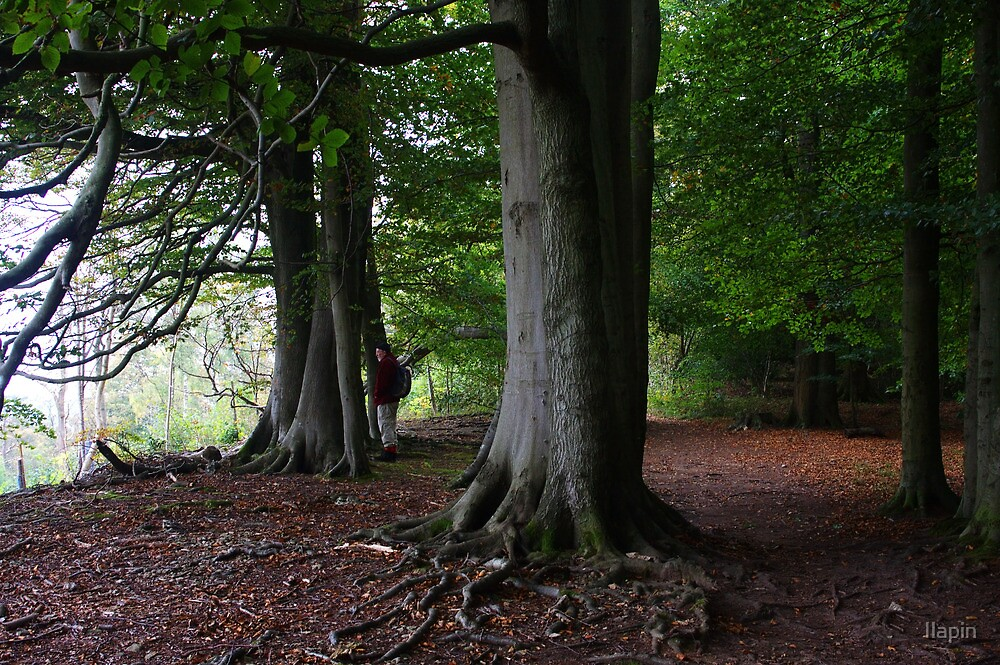 eves wood beeches 2a by Ilapin