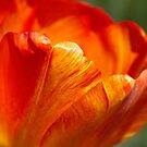 Orange tulip closeup by ArianaMurphy
