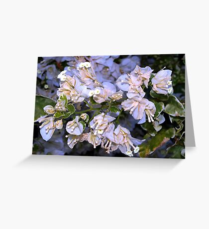White striped bougainvillea Greeting Card