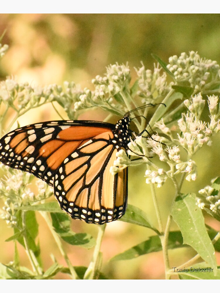 Monarch butterfly on white flowers by ToniaDelozier