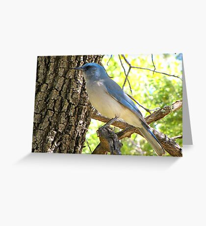 Mexican Jay ~ Madera Canyon Greeting Card