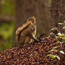 Red Squirrel on Debris Pile by ArianaMurphy