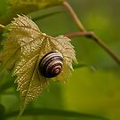 Snail on Wild Grape Leaf by ArianaMurphy