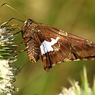 Silver Spotted Skipper on White Teasle by Ron Russell