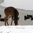 Crazy Canadian Deer by Rose Gallik