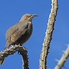 Curved-billed Thrasher ~ I Know Your Watching Me by Kimberly Chadwick